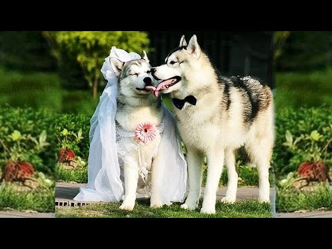 Funny and Cute Husky Puppies Compilation #12  Cutest Husky