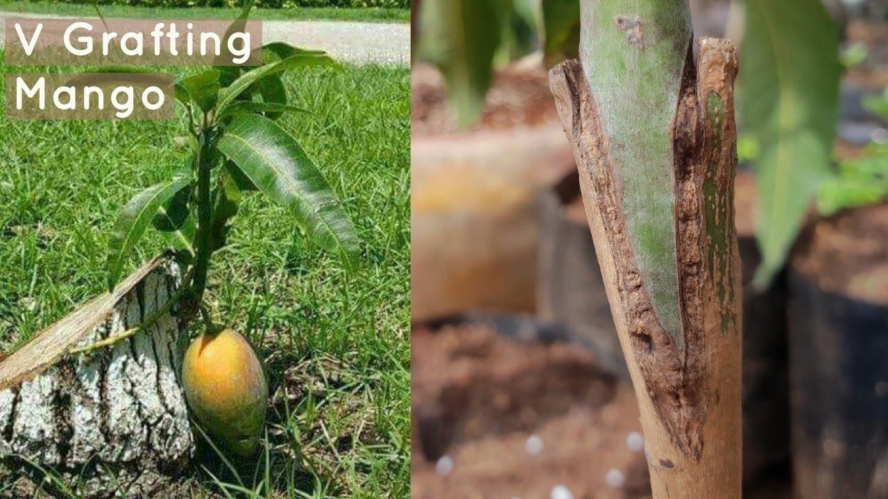 Mango V Grafting Technique Youtube