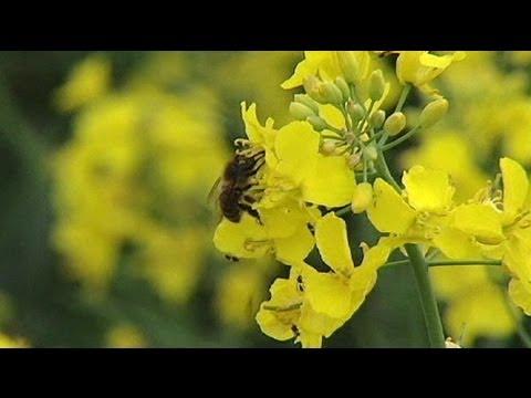 Arıların Kitlesel Ölümlerinin Nedeni Bulundu
