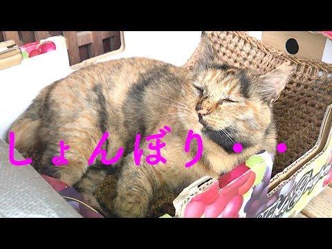 【しょんぼりニャン太】叱られて・・無視されて・・泣【猫と日本の庭】