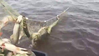 ЩУКА-ШОК !!! Рыбалка сетью на Иртыше!!! (Браконьеры)