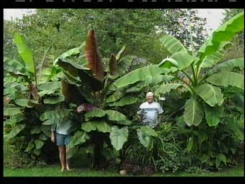 elephant ear plant care instructions