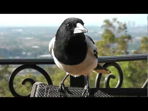 Friendly Magpies, Kookaburras, Butcher Birds feeding session