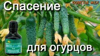 Спасение огурцов с помощью зеленки и йода. Простое средство от болезней огурцов