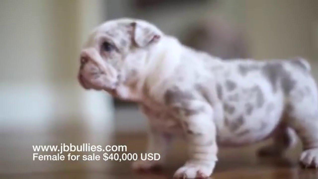 lilac tri merle english bulldog female 5weeks old 4sale $40,000