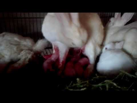 Female Rabbit Cleaning New Born Babies (Red Eyes Albino)