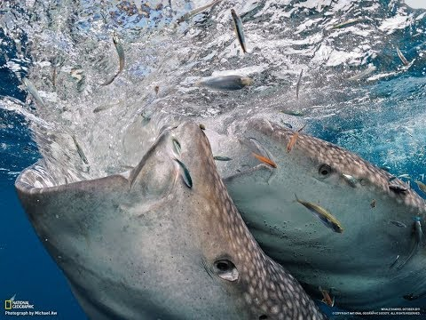 The biggest whale shark eating fish youtube the biggest whale shark eating fish altavistaventures Image collections
