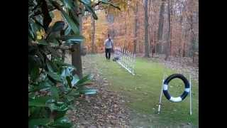 * Agility Weave Pole Training .. 4 English Cockers Practicing .. Waggin' Woods Weavers.