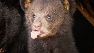Picture Day for CUTE Bear Cubs! | BBC Earth