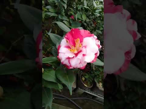 深海妖怪斑 - 台中茶花 20190114