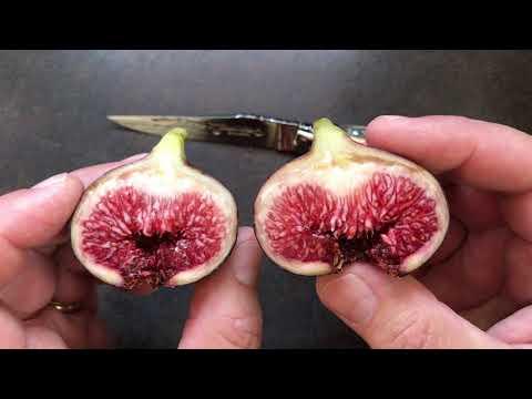 french fig farm: Violette de Sollies