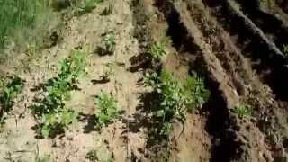 Окучивания картофеля на огороде