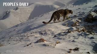 The annual World Snow Leopard Day falls on Oct 23