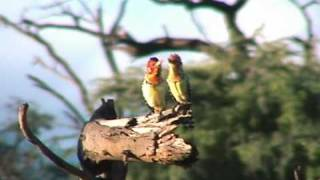 Virtuoso Birdcall Duet: Barbets in Love