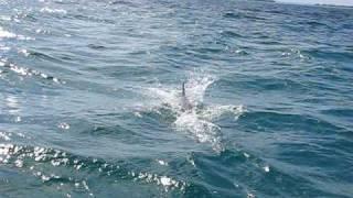 Delfine in Kuba