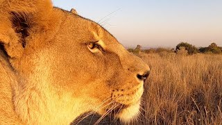 Lion Scents and Sense Abilities  - Sight (Part 1) | The Lion Whisperer
