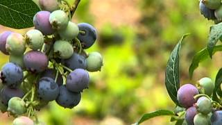 Big Summer, at Steld U-Pick Blueberry Farm in Yellowpoint