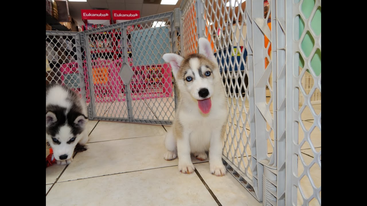 Husky puppies for adoption in california - Siberian Husky Puppies In Green Bay Wisconsin Wi