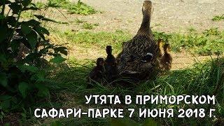 УТЯТА В ПРИМОРСКОМ САФАРИ-ПАРКЕ 7 ИЮНЯ 2018 Г.