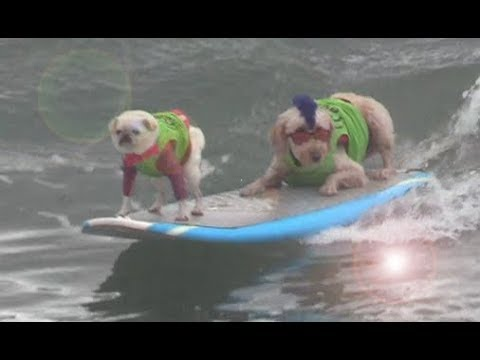 Dog Surfing in Surf City USA