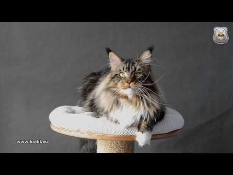 HUNTER NadyCoon *HU :: Special Agent *PL :: Maine Coon Cattery :: Hodowla Kotów Rasowych
