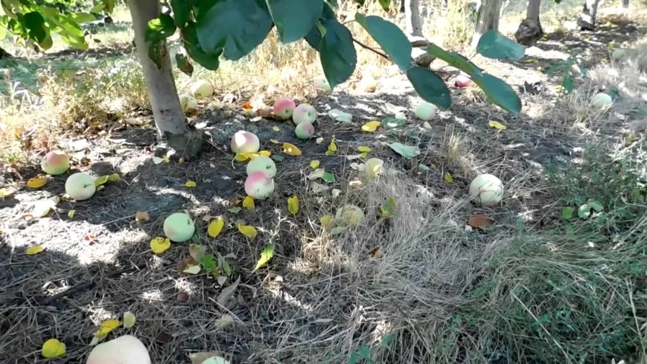 фото яблоки слава