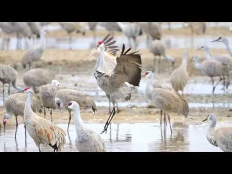 Sandhill Cranes at the Platte River, Nebraska 2013