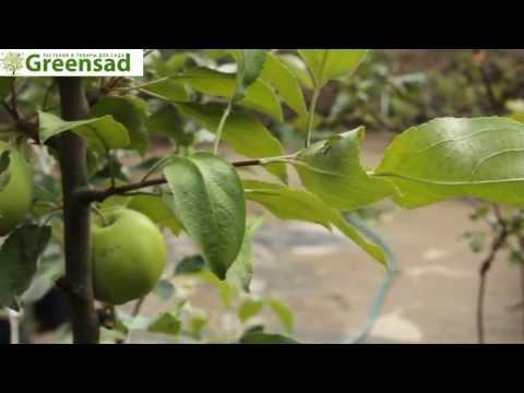 """Яблоня """"Катя"""" - видео-обзор от Greensad"""