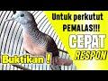 Suara Perkutut Mengejek Lawan Di Jamin Lawan Langsung Respon  Mp3 - Mp4 Download