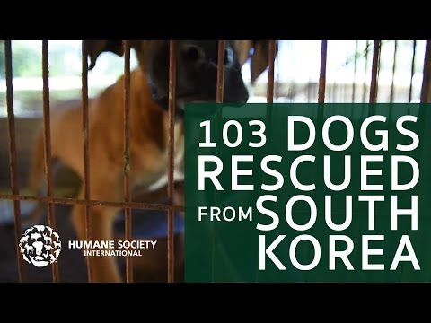 Dogs Fate Changed - Rescued from South Korea Meat Trade