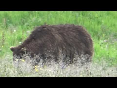 Grizzly foraging in Mist Creek Meadows, Yellowstone National Park.