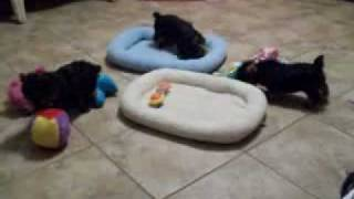 Yorkshire Terrier Puppies Angel Touch