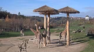 Afrika ve dne i v noci - žirafy - lízání