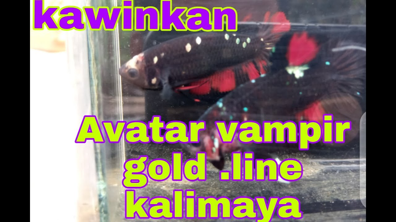 Pengen Coba Kawinkan Avatar Vampir Gold Line Avatar Kalimaya Youtube