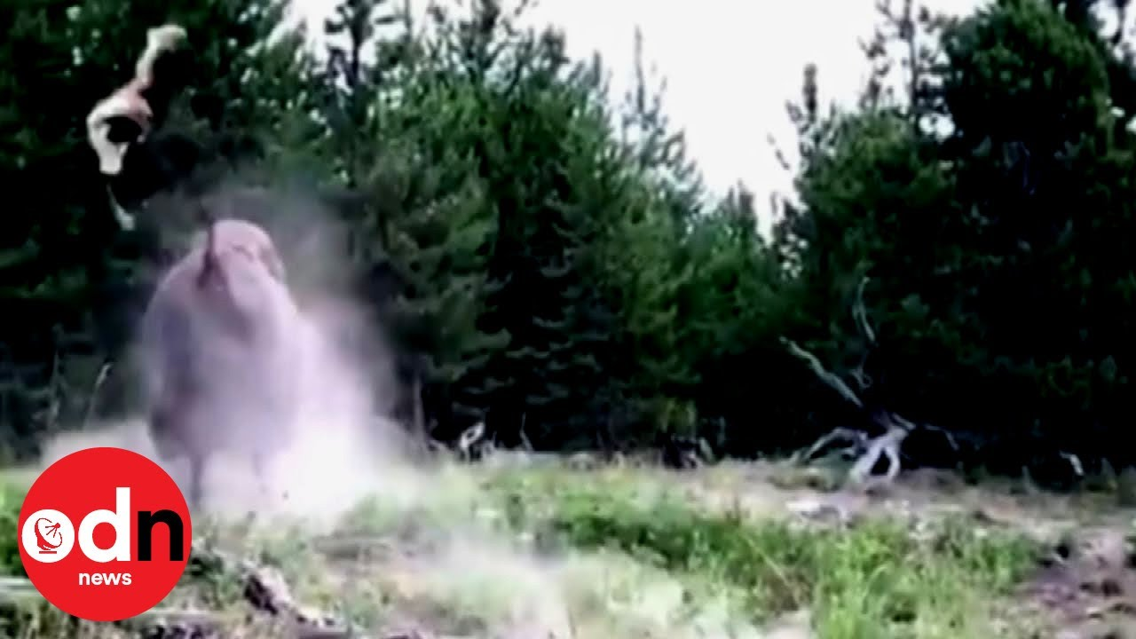 Girl Tossed Into Air by Charging Buffalo in Yellowstone National Park