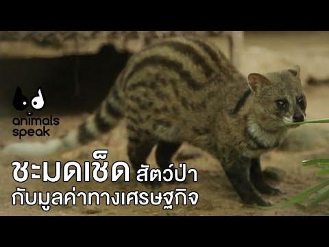 ชะมดเช็ดสัตว์ป่ากับมูลค่าทางเศรษฐกิจ  : Animals Speak [by Mahidol]
