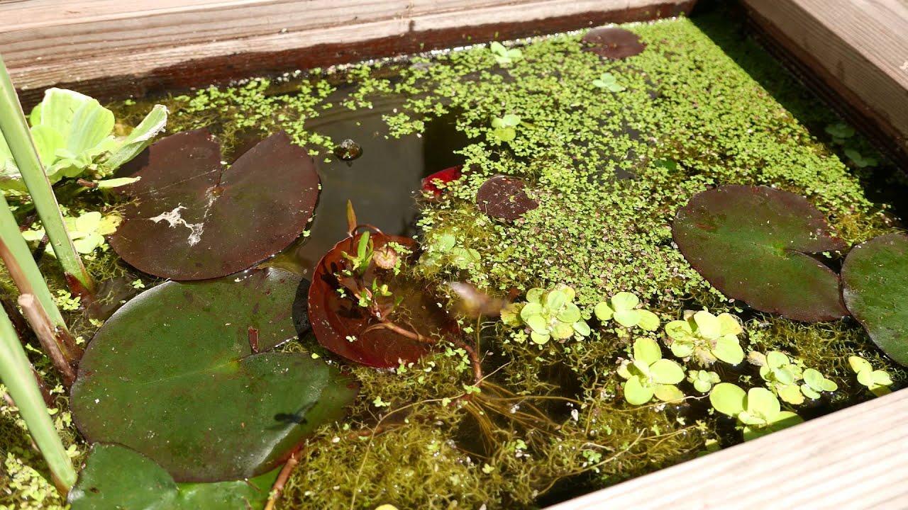 Poisson rouge et lentilles d 39 eau 4k youtube for Aquarium poisson rouge changer l eau