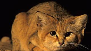 Барханный кот - эксперт по выживанию в пустыне! Интересные факты о барханной кошке.