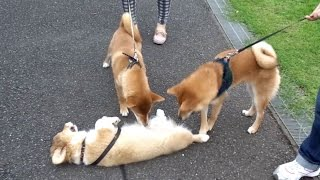 Roku & Dogs / ロクさんとワンコたち 20150831 Welsh Corgi Puppy 子犬