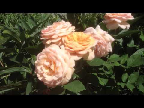 Роза Августа Луиза (Аugusta  Luise) cелекции Таntau. Июнь 2017.