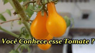 Tomate Pera em Vaso – Venha Conhecer esse Tomate