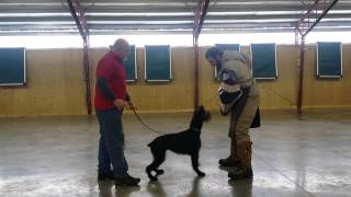 """Giant Schnauzer """"yeti"""" Protection Trained Dog For Sale Home Raised"""