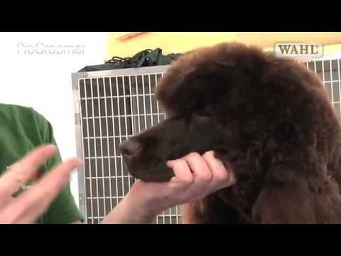 Pro Groomer - Irish Water Spaniel - Grooming Guide
