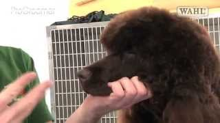 Pro Groomer  Irish Water Spaniel  Grooming Guide