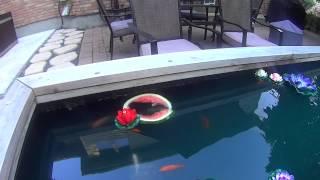 Koi And Goldfish In Backyard Pond Loving Watermelon Part 2