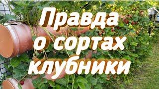 Моя правда о сортах клубники. Belklubnika.by
