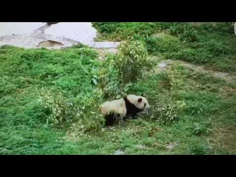 Wolong National Nature Reserve - Panda attacks the tree