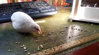 Widget the Tame Button Quail