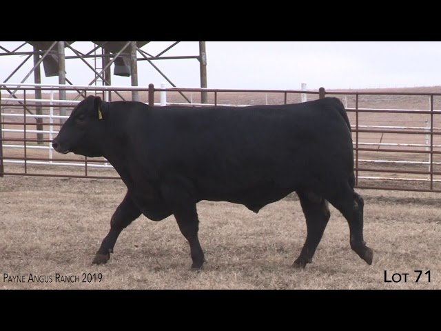 Payne Angus Ranch Lot 71