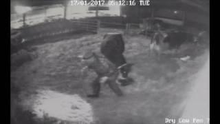 Calving Dairy Cow - Backwards/Breech Calf and Calving Aid Breaks Video